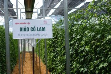 Vùng nguyên liệu Giảo cổ lam Tuệ Linh theo tiêu chuẩn GACP-WHO