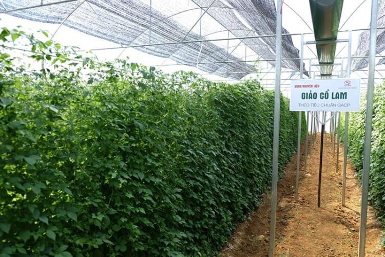 Vùng trồng Giảo cổ lam Tuệ Linh theo tiêu chuẩn Tổ chức Y tế Thế giới GACP-WHO
