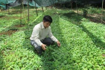Kỹ thuật chăm sóc và trồng cây giảo cổ lam