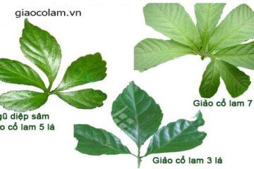 Đặc điểm và tính năng của cây giảo cổ lam 7 lá